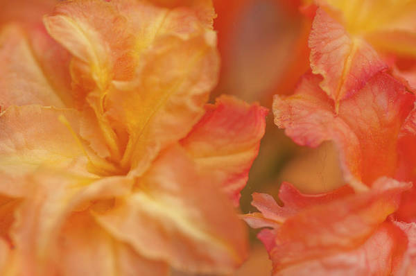 Photograph - Rhododendron Csardas Macro 1 by Jenny Rainbow