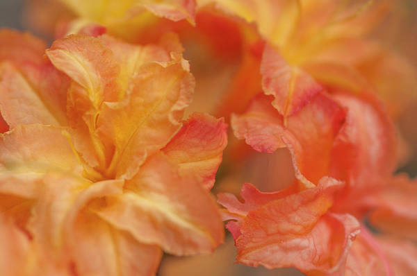 Photograph - Rhododendron Csardas Macro by Jenny Rainbow