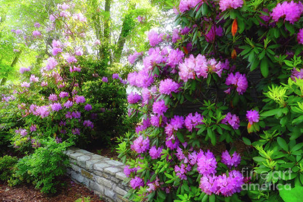 Photograph - Rhododendron In Blowing Rock by Amy Dundon