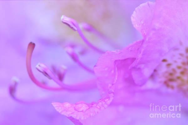 Photograph - Rhododendron Macro by Kerri Farley