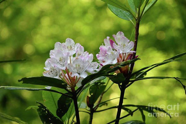 Photograph - Rhododendron by Phil Perkins