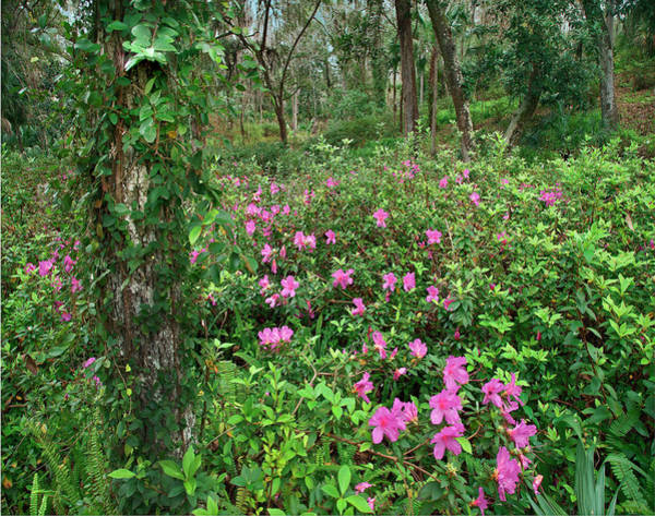 Wall Art - Photograph - Rhododendron, Rainbow Springs State by Tim Fitzharris