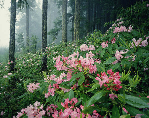North Idaho Photograph - Rhododendrons Rhododendron Sp. Growing by Richard H Johnston
