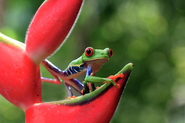 Heliconia Wall Art - Photograph - Ribbit In Rainforest by Mlorenzphotography