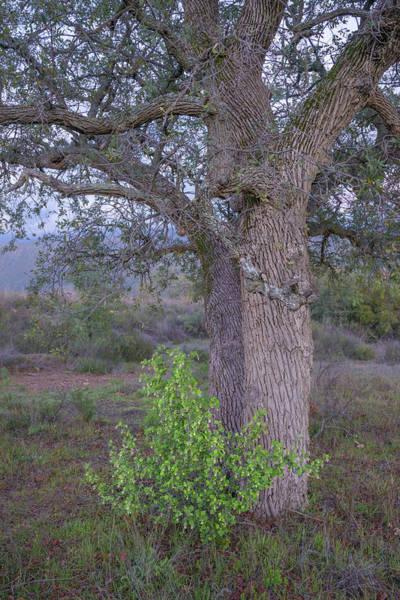 Photograph - Ribes Under Oak by Alexander Kunz