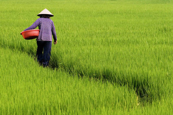 Quang Nam Province Photograph - Rice Field Worker by Viviane Ponti