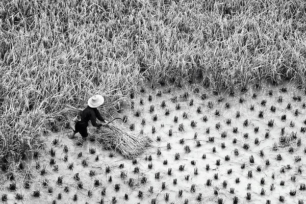 Rice Photograph - Rice Harvest In China by Delphimages Photo Creations