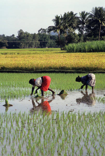 Kerala Photograph - Rice Plantations, Kerala, South India by Joan Pollock