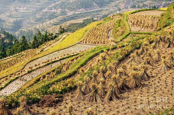 Rice Photograph - Rice Terraces During Harvest by Delphimages Photo Creations