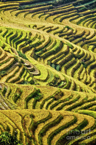 Rice Photograph - Rice Terraces In China by Delphimages Photo Creations