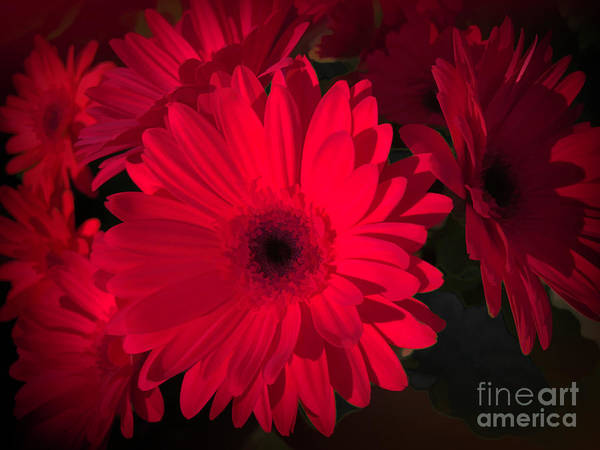 Wall Art - Photograph - Rich, Red And Romantic Gerbera by Luther Fine Art