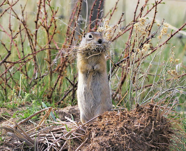 Wall Art - Photograph - Richardson's Ground Squirrel Montana by Jennie Marie Schell
