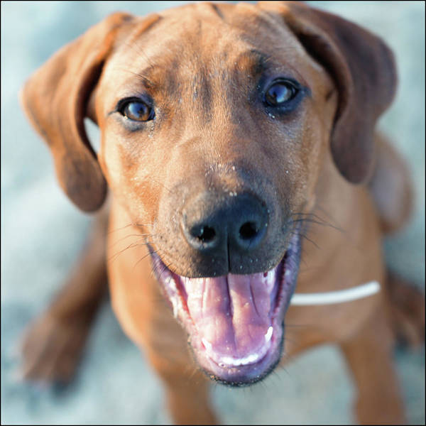 Curiosity Photograph - Ridgeback Puppy by Maarten Van De Voort Images & Photographs