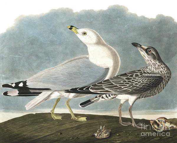 Painting - Ring Billed Gull, Larus Delawarensis By Audubon by John James Audubon
