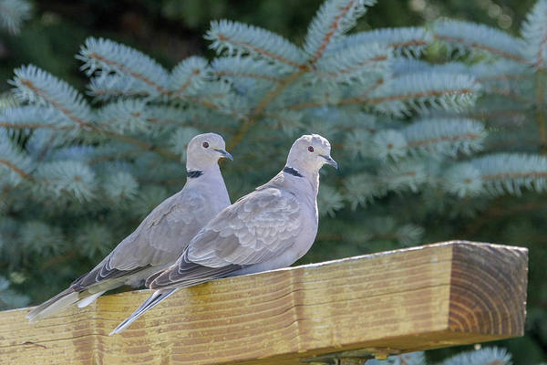 Photograph - Ring Neck Doves by Ronnie and Frances Howard