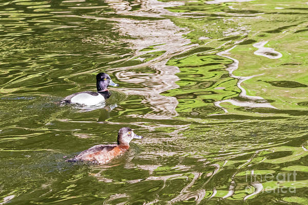 Photograph - Ring-necked Couple II by Kate Brown