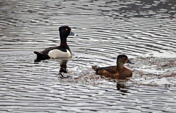 Wall Art - Photograph - Ring Necked Duck- Pair by Whispering Peaks Photography