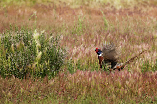 Wall Art - Photograph - Ring Necked Pheasant 4130  Phasianus Colchicus  by Michael Trewet