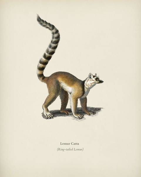 Ring-tailed Lemur Painting - Ring-tailed Lemur  Lemur Catta  Illustrated By Charles Dessalines D' Orbigny  1806-1876  by Celestial Images