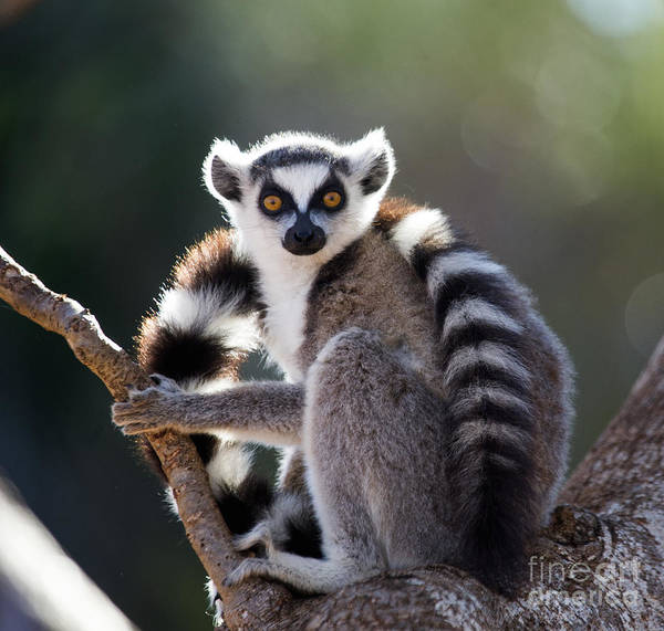Zoology Wall Art - Photograph - Ring-tailed Lemur Sitting On A Tree by Gudkov Andrey