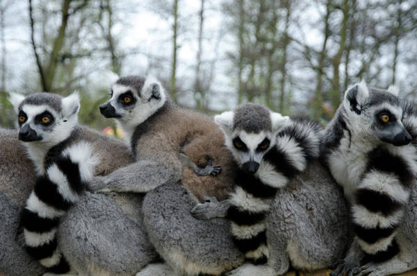 Looking Down Photograph - Ring Tailed Lemurs In Row by Photography Philip Appleyard