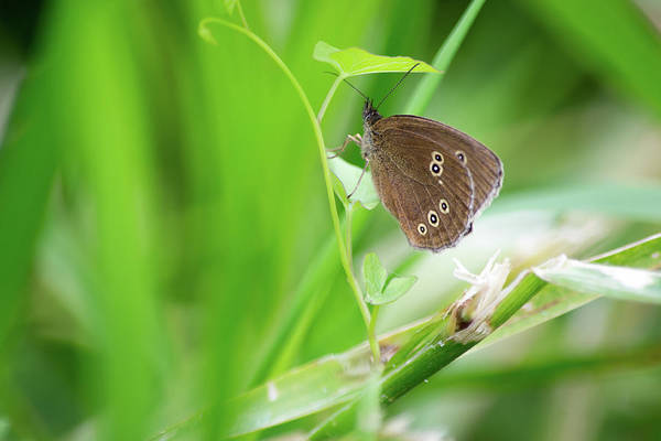 Photograph - Ringlet Butterfly On Plant by Scott Lyons