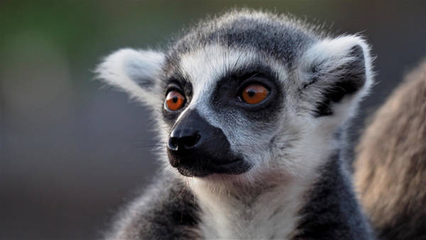 Photograph - Ringtailed Lemur Close Up by Eye to Eye Xperience