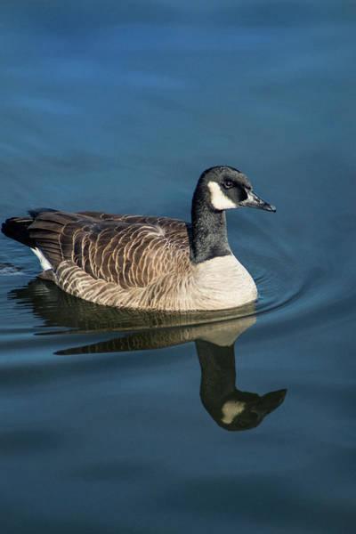 Photograph - Rio Canada Goose by Don Johnson