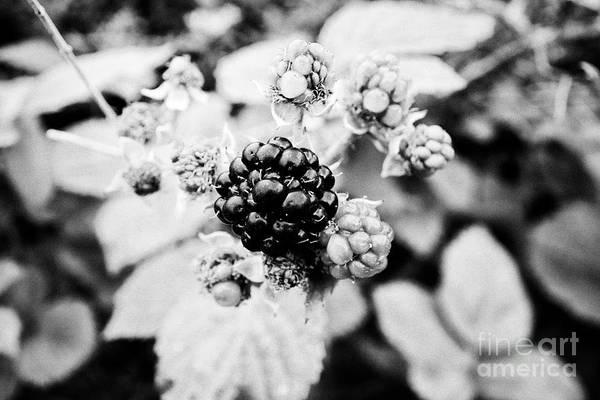 Wall Art - Photograph - Ripe And Unripe Blackberries Growing In A Hedgerow In Ireland by Joe Fox