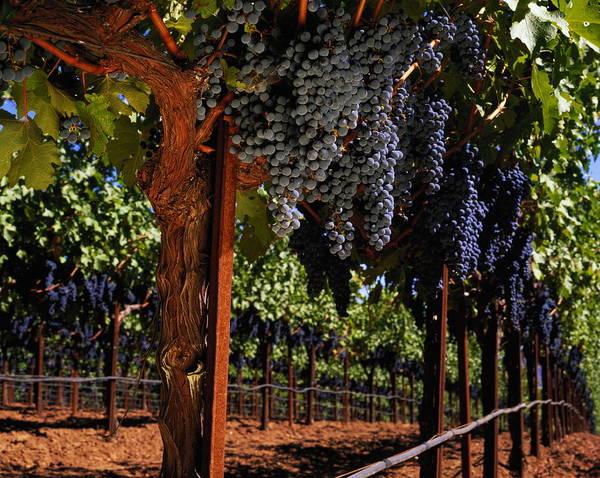 Napa Valley Photograph - Ripe Cabernet Sauvignon Grapes, Napa by Jerry Alexander