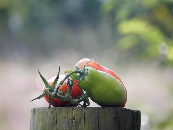 Photograph - Ripe Medium And Green by Tina M Wenger