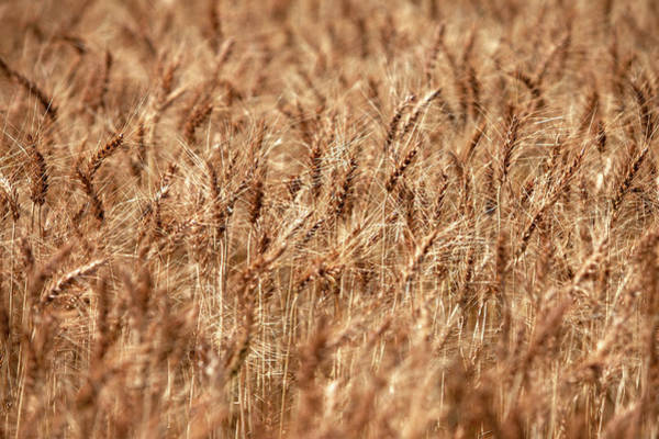 Photograph - Ripened Wheat by Todd Klassy