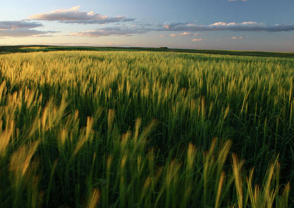 Green And Gray Photograph - Ripening Green Wheat Field On The Great by Imaginegolf