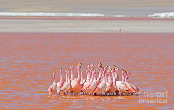 Remote Photograph - Ritual Dance Of Flamingo, Wildlife by Helen Filatova