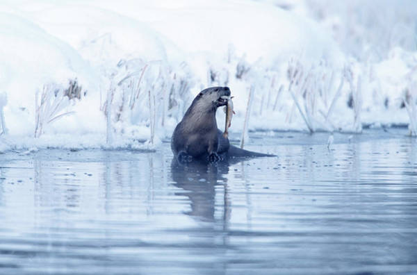Wall Art - Photograph - River Otter Lutra Canadensis Catching by Riccardo Savi