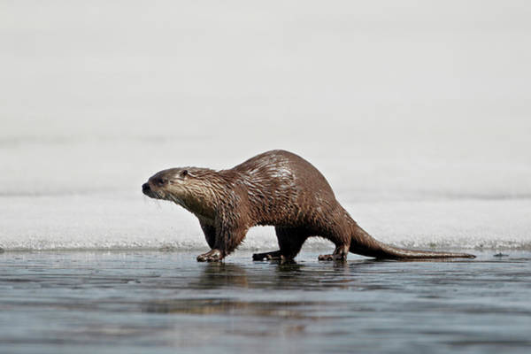 James Brown Photograph - River Otter, Lutra Canadensis, On by James Hager / Robertharding