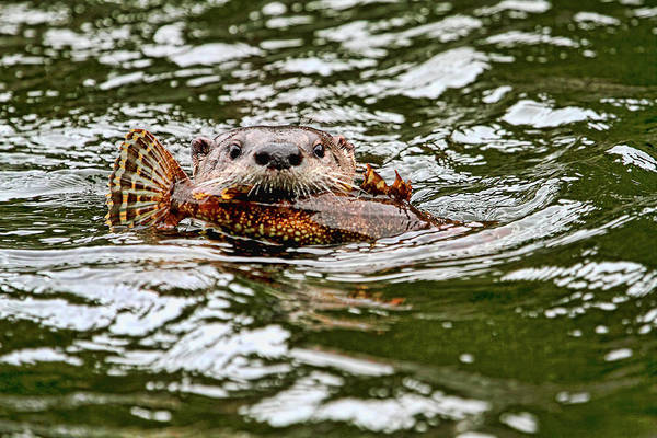 Photograph - River Otter With Greenling Fish by Peggy Collins