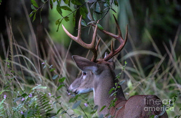 Photograph - Riverbend Buck by Tom Claud
