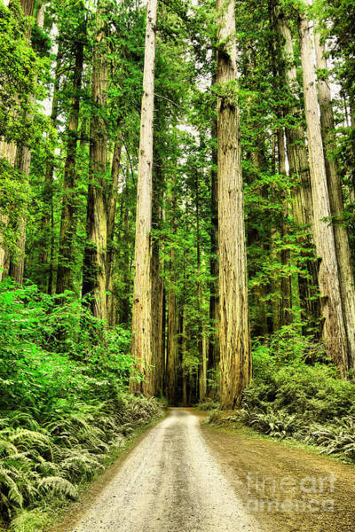 Dirt Bike Photograph - Road Into A Stand Of Redwoods by Jeff Swan