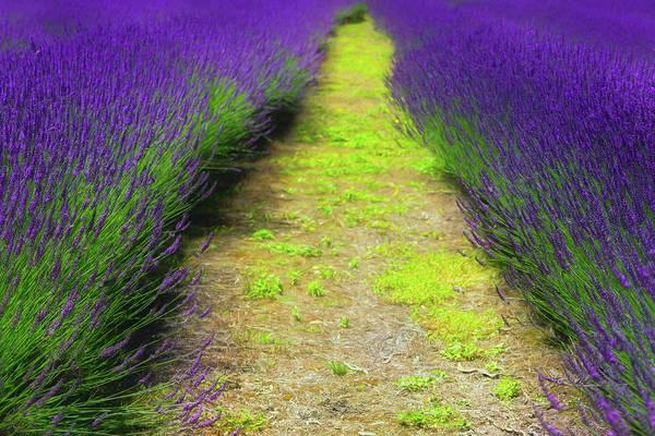 Wall Art - Photograph - Road Through A Lavender by Aleksandra Shmakova