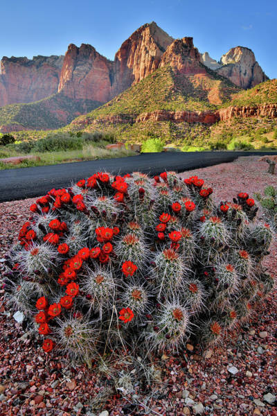 Photograph - Roadside Cacti In Zion National Park by Ray Mathis