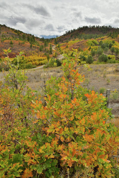 Photograph - Roadside Fall Colored Scrub Oaks by Ray Mathis