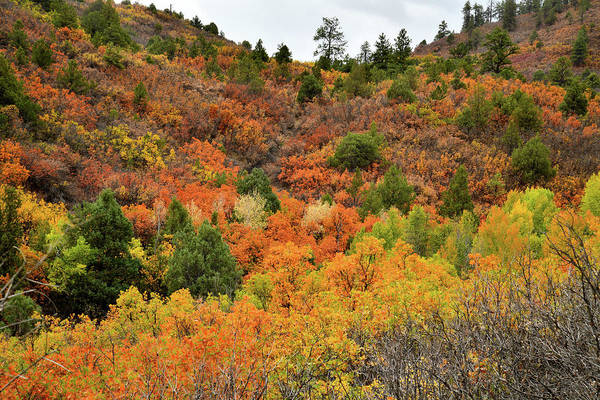 Photograph - Roadside Fall Colors Near Ridgway Colorado by Ray Mathis