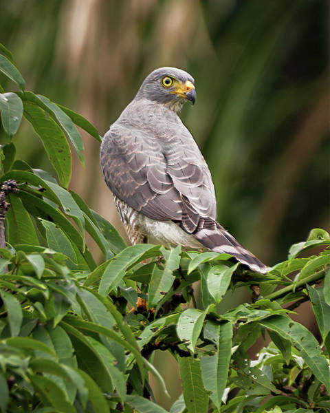 Photograph - Roadside Hawk La Fortuna Yopal Casanare Colombia by Adam Rainoff