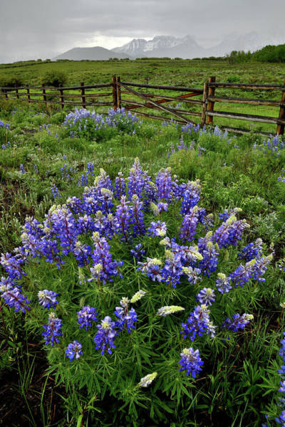 Photograph - Roadside Lupine Along San Juan Parkway by Ray Mathis