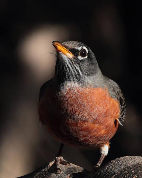 Photograph - Robin 4224 by John Moyer