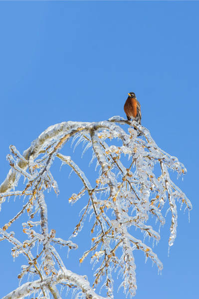 Wall Art - Photograph - Robin And Freezing Rain by Mircea Costina Photography
