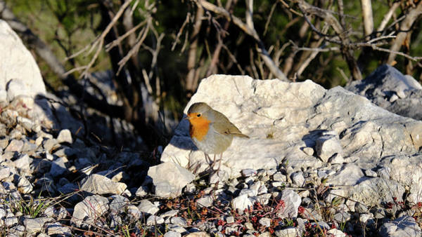 Photograph - Robin At Ease by August Timmermans