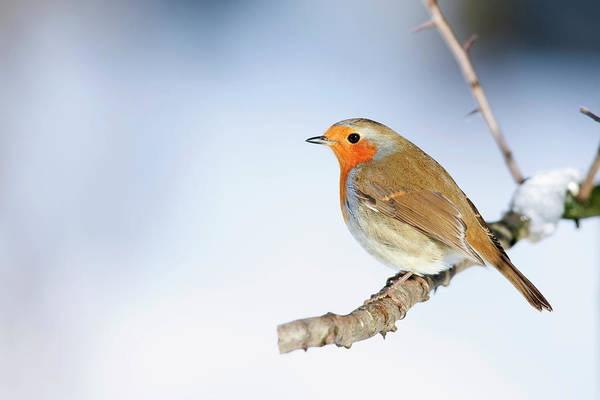 Wall Art - Photograph - Robin Erithacus Rubecula by Andrew Howe