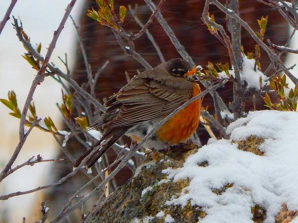 Photograph - Robin In A Snowstorm by Dan Miller